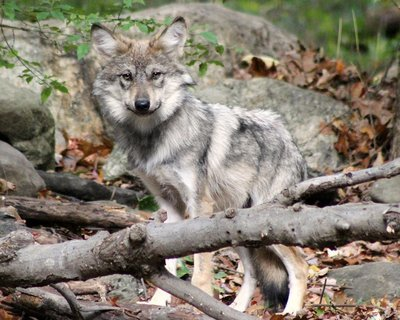 """Adopt Mexican Gray Wolf F1508 """"KB"""" 913"""
