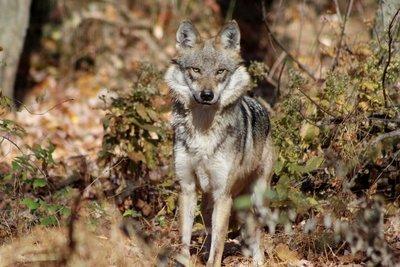 "Adopt Mexican Gray Wolf F1435 ""Magdalena"" 914"