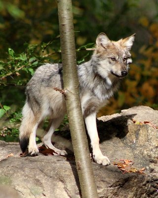 """Adopt Mexican Gray Wolf M1506 """"Duffy"""" 911"""
