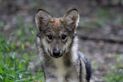 """Adopt Mexican Gray Wolf f1620 """"Max"""" 916"""