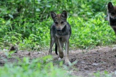 "Adopt Mexican Gray Wolf f1621 ""Nita"" 917"