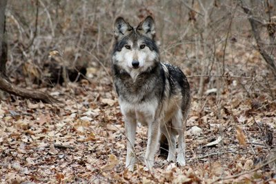 """Adopt Mexican Gray Wolf M1059 """"Diego"""" 909"""
