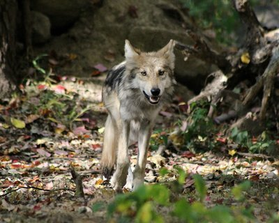 "Adopt Mexican Gray Wolf F1505 ""Trumpet"" 910"