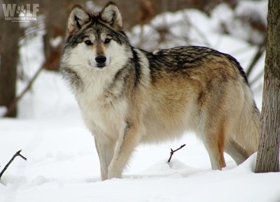 "Adopt Mexican Gray Wolf F1226 ""Belle"" 906"