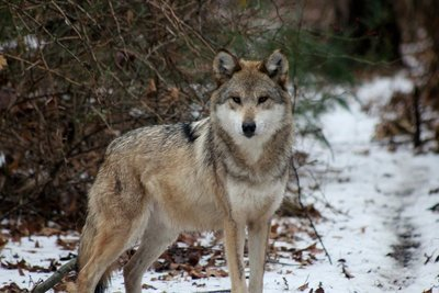 """Adopt Mexican Gray Wolf F1143 """"Rosa"""" 905"""