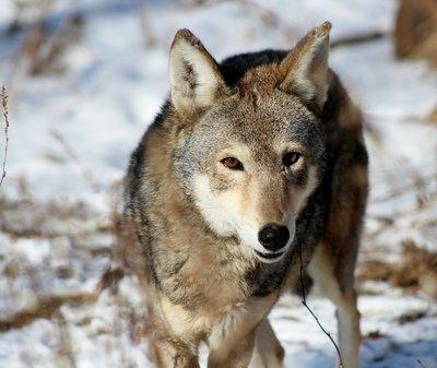 "Adopt Red Wolf M1606 ""Jack"" 904"