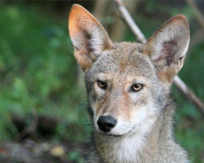 """Adopt Red Wolf m2235 """"Ben"""" 920"""