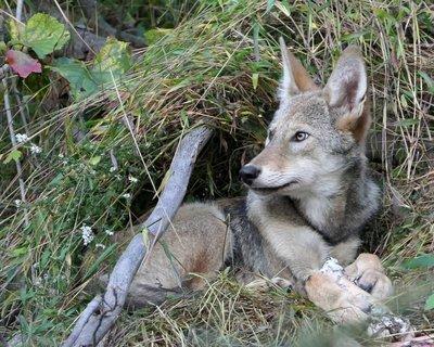 "Adopt Red Wolf m2234 ""Maple"" 919"