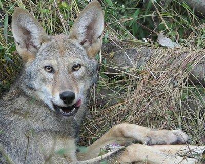 """Adopt Red Wolf m2236 """"Deven"""" 921"""