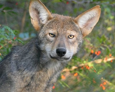 "Adopt Red Wolf f2237 ""Marley"" 922"