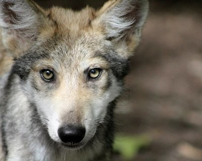 """Adopt Mexican Gray Wolf m1742 """"Kral"""" 923"""