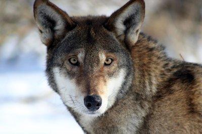 """Adopt Red Wolf M1784 """"Sam"""" 928"""