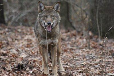 "Adopt Red Wolf M2118 ""Tyke"" 936"