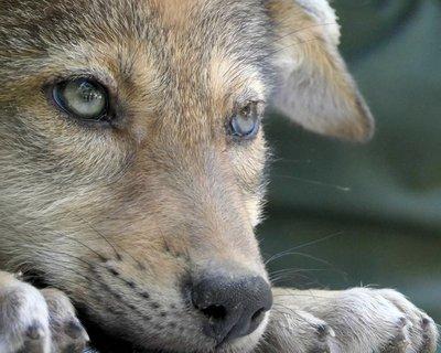 """Adopt Red Wolf m2240 """"Max"""" 930"""