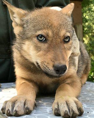 "Adopt Red Wolf m2239 ""Shane"" 931"