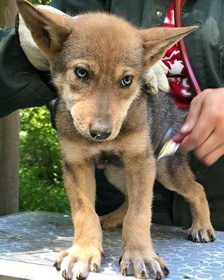 """Adopt Red Wolf m2241 """"Hunter"""" 932"""