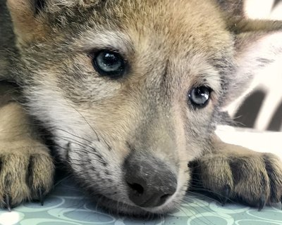 "Adopt Red Wolf f2243 ""Skyrae"" 935"