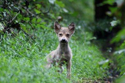 "Adopt Mexican Gray Wolf m1746 ""Craighead"" 938"
