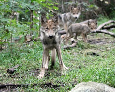 "Adopt Mexican Gray Wolf m1748 ""Lek"" 940"