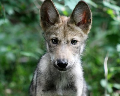 "Adopt Mexican Gray Wolf m1750 ""Goodall"" 942"