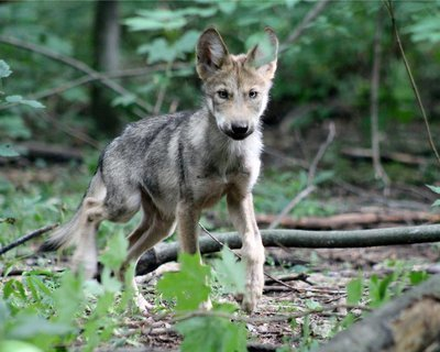 "Adopt Mexican Gray Wolf m1751 ""Beattie"" 943"