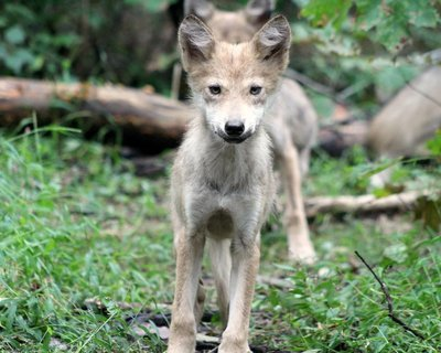"""Adopt Mexican Gray Wolf f1752 """"Diane"""" 944"""