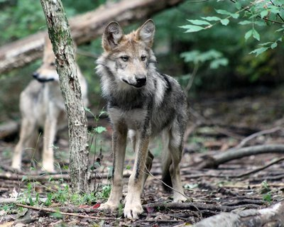 """Adopt Mexican Gray Wolf f1753 """"Hélène"""" 945"""