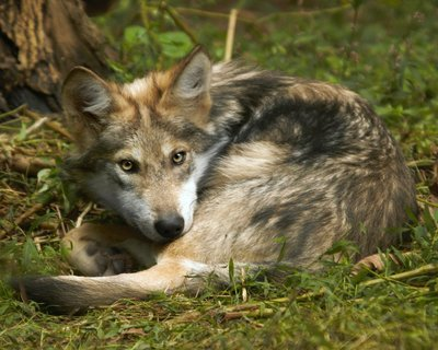 """Adopt Mexican Gray Wolf f1744 """"Babs"""" 925"""
