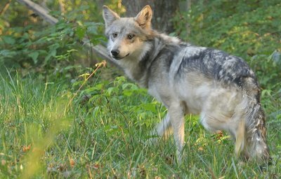 "Adopt Mexican Gray Wolf M1564 ""Lighthawk"" 947"