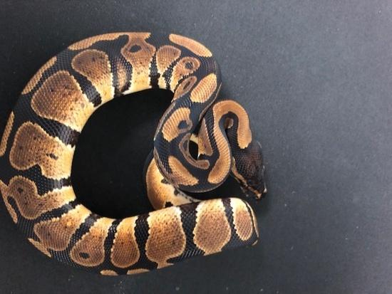 NR Mandarin Ball Python 18Mandarin-11M3