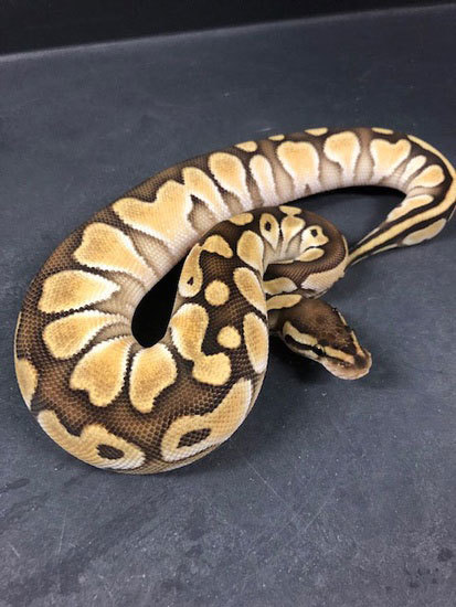 Orange Dream Lesser Yellow Belly 100% Het-Albino 18ODLesYBHetAlb-F