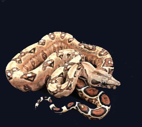 66% Double Het-Leopard Blood Boa Constrictor 1866DoublehetLeoBlood-F4