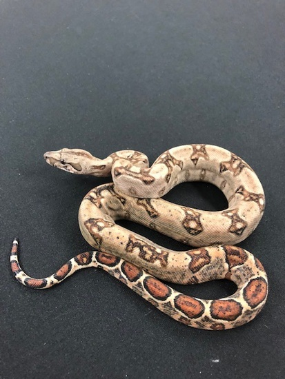 66% Double Het-Leopard Blood Boa Constrictor 1866DoubHetLeoBlood-M