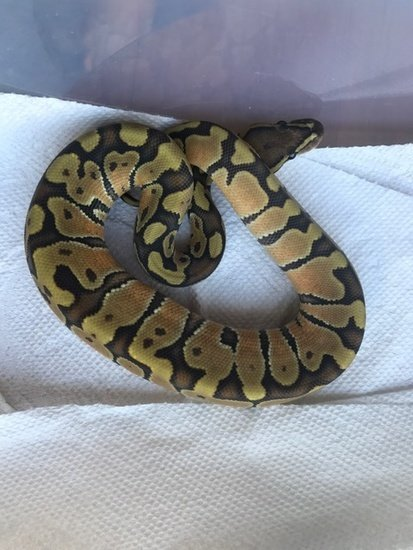 Enchi Hypo Orange Ghost Ball Python 00003