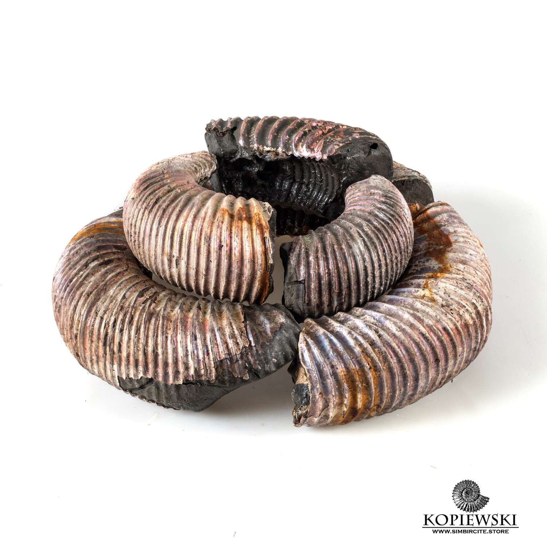 Fragments of Ammonite