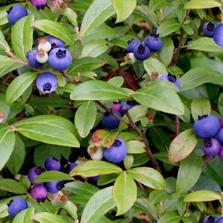 Green Blueberries - Elizabeth Studio 6J7YDXTM