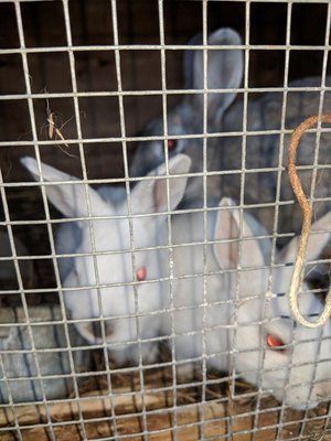 Live Meat Rabbits (pickup only, Sherman, Maine)