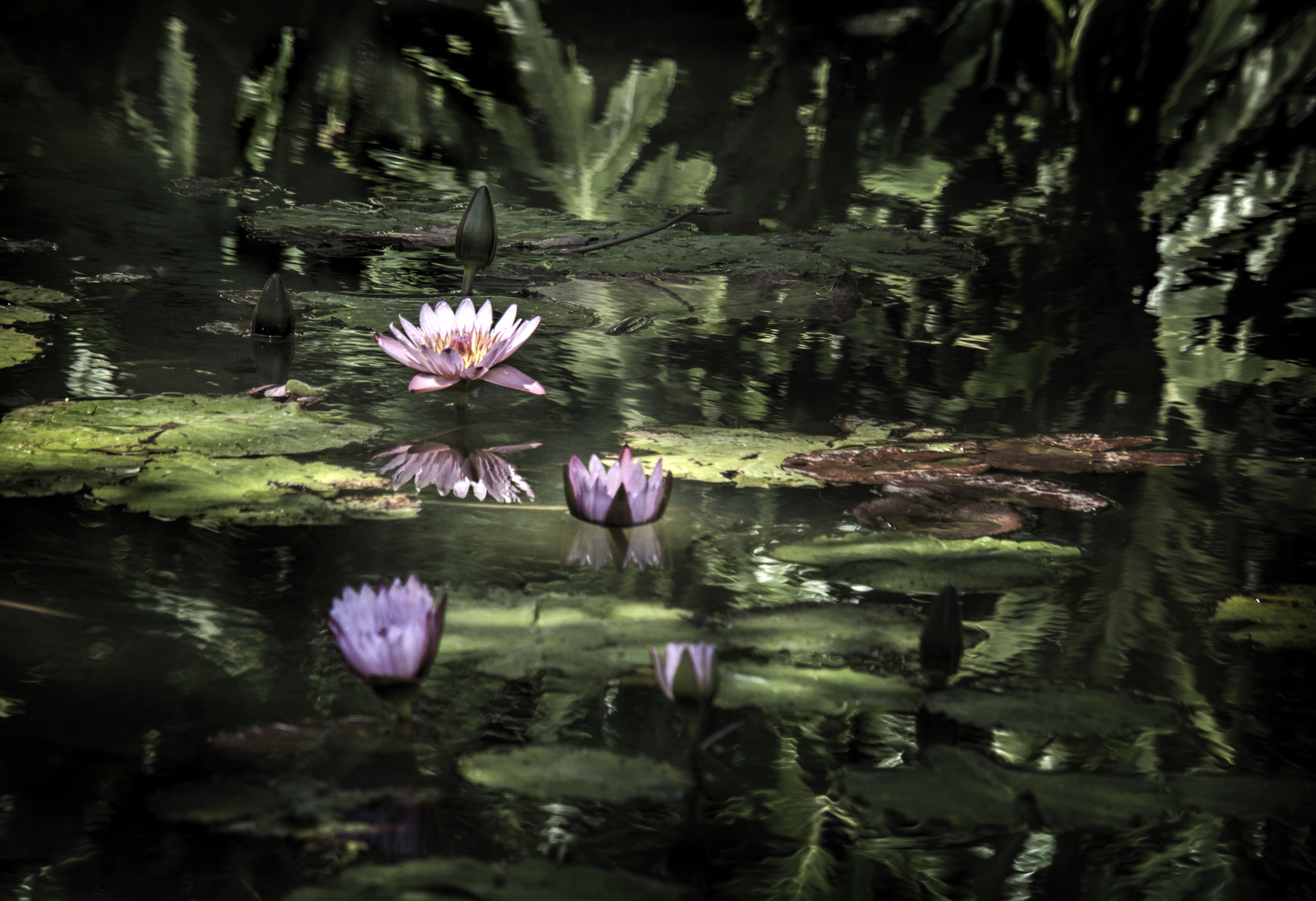 Lily Pond 004-107
