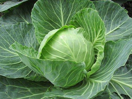 Chou vert bio 1 à 2 lbs