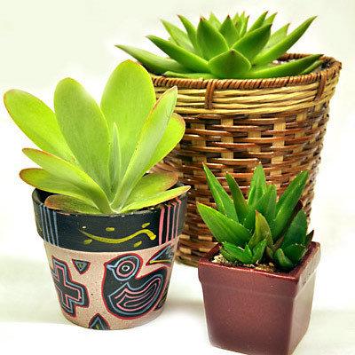 Succulents 0005