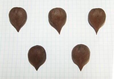 Семена сердцевидного ореха