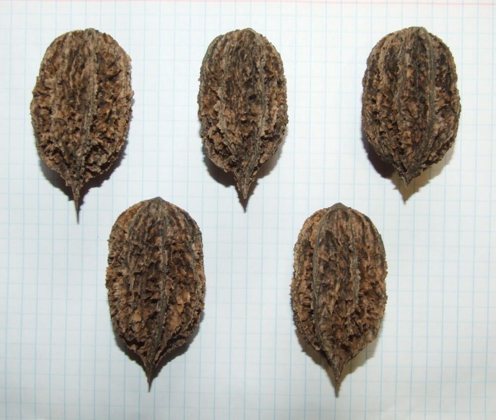 Семена серого ореха