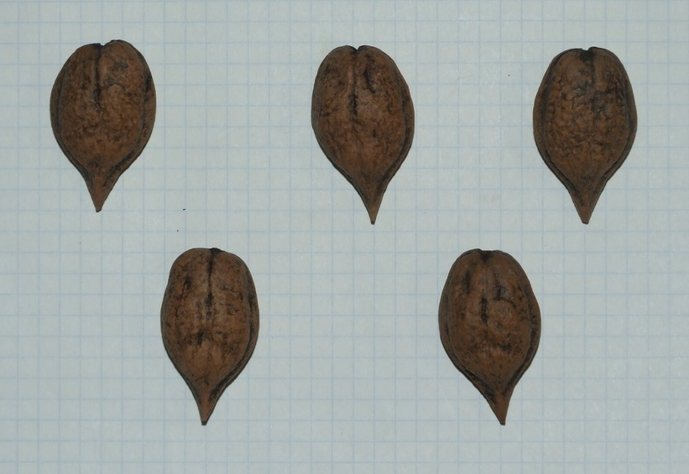 Семена айлантолистного ореха