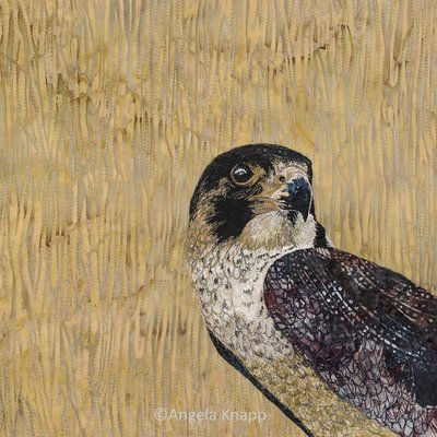 'Young Pretender' Juvenile Peregrine - Limited Edition Giclee Print