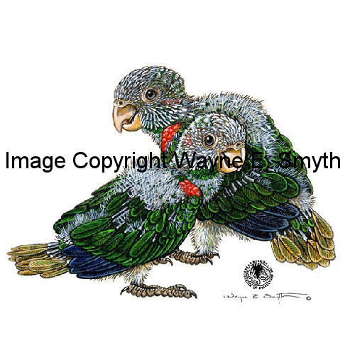 Baby Blue-Throated Conures - Ceramic Tiles 00012