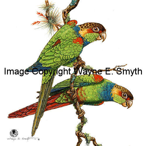 Blue-Throated Conures - Ceramic Tiles 00013