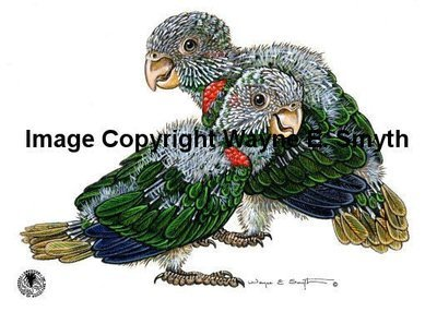 Baby Blue-Throated Conures - Magnets