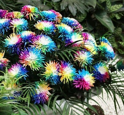 Chrysanthemum Flower Seeds (100 quantity)