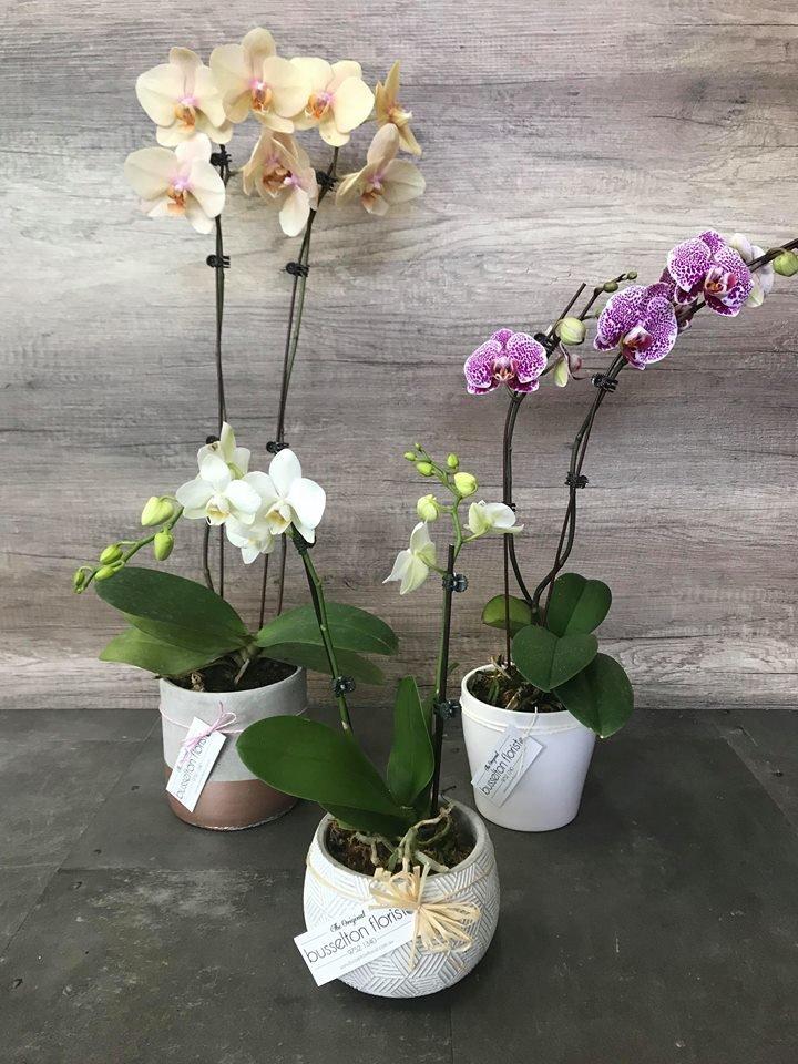 Orchid Plants 00045