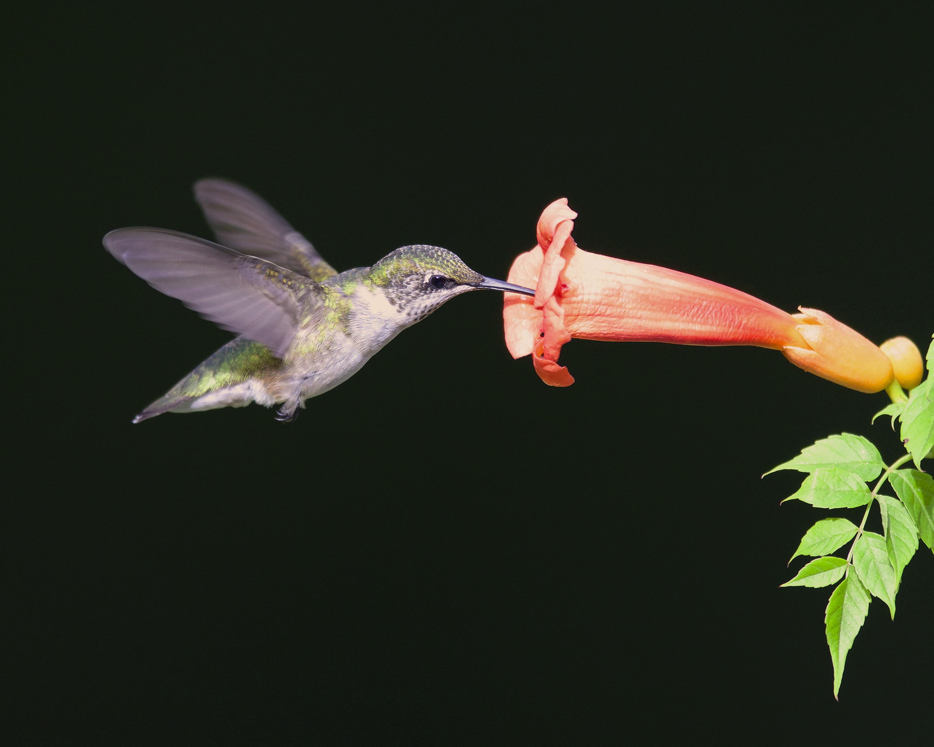 Ruby-throated hummingbird canvas print 00002